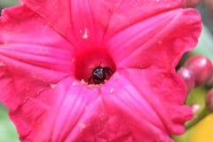 Fiore rosa e un'ape immagini stock