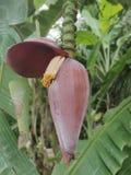 Fiore rosa esotico della banana immagini stock libere da diritti