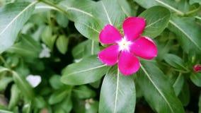 Fiore rosa Filippine tropicali Fotografia Stock Libera da Diritti