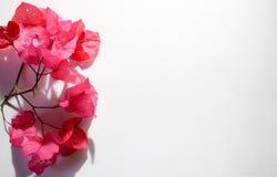 Fiore rosa floreale/assortito rosa rasenta il fondo bianco fotografia stock libera da diritti