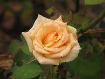 Fiore rosa giallo-chiaro bagnato Fotografia Stock Libera da Diritti