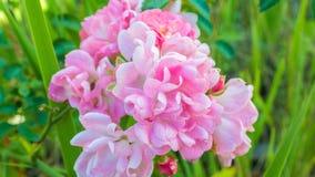 Fiore rosa Giappone di estate Fotografia Stock