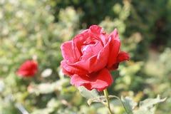 fiore rosa in giardino Immagini Stock