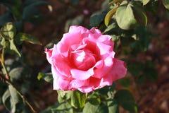fiore rosa in giardino Fotografie Stock