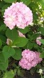 Fiore rosa in giardino Fotografia Stock Libera da Diritti