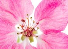 Fiore rosa isolato di di melo Fotografia Stock Libera da Diritti