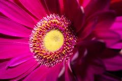 Fiore rosa luminoso con un mezzo giallo immagini stock libere da diritti