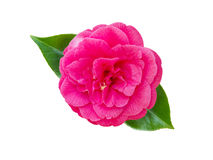 Fiore rosa luminoso della camelia fotografia stock libera da diritti