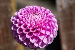 Fiore rosa meraviglioso di pinnata della dalia Fotografie Stock