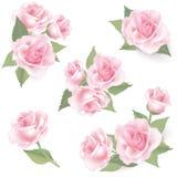 Fiore Rosa messa su fondo bianco. Decorazione floreale. royalty illustrazione gratis