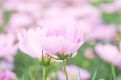 Fiore rosa nel colore pastello morbido Immagini Stock Libere da Diritti