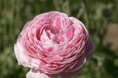 Fiore rosa nel fondo o il modello di primavera Fotografia Stock
