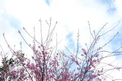 Fiore rosa nell'inverno, sakura tailandese del fiore di ciliegia a MAI di Chaing fotografia stock libera da diritti