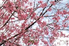 Fiore rosa nell'inverno, sakura tailandese del fiore di ciliegia a MAI di Chaing immagini stock libere da diritti