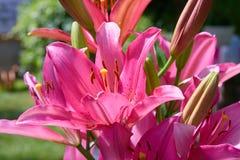 Fiore rosa o magenta vibrante del giglio su sfondo naturale immagini stock