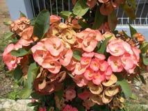 Fiore rosa o rosso di milii dell'euforbia Immagini Stock Libere da Diritti