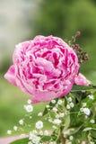 Fiore rosa, peonia Immagini Stock Libere da Diritti