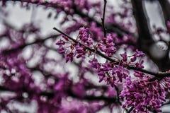 Fiore rosa porpora variopinto della molla su un albero Immagini Stock
