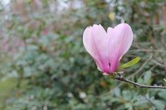 Fiore rosa in priorità alta con le foglie verdi in giardino nel fondo fotografie stock libere da diritti