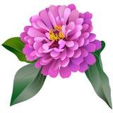 Fiore rosa realistico di zinnia con tre foglie Fotografia Stock Libera da Diritti