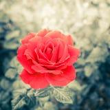 Fiore rosa romantico nel giardino di estate Fotografia Stock Libera da Diritti
