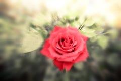 Fiore rosa romantico nel giardino di estate Pittura dell'acquerello della sfuocatura Immagini Stock Libere da Diritti