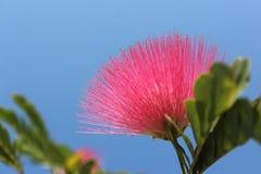 Fiore rosa-rosso, fiore elegante e del fragrand di haematocephala Hassk, di Calliandra del soffio di polvere Immagine Stock