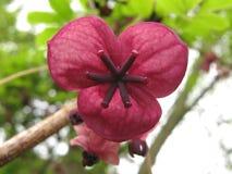 Fiore rosa scuro Immagini Stock