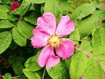 Fiore rosa selvaggio bagnato Fotografia Stock Libera da Diritti