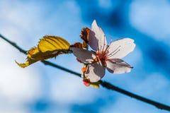 Fiore rosa soleggiato della ciliegia Fotografie Stock Libere da Diritti