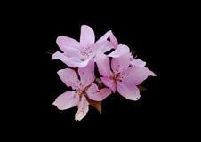 Fiore rosa su fondo nero immagini stock