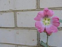 Fiore rosa su un fondo del muro di mattoni Fotografia Stock