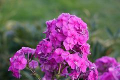 Fiore rosa su un fondo di erba verde fotografia stock