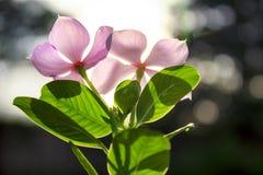 Fiore rosa sul fondo di luce solare Immagine Stock Libera da Diritti