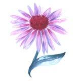 Fiore rosa sul gambo Camomilla Isolato su priorità bassa bianca Fotografie Stock