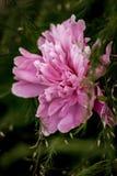 Fiore rosa sul ramo Immagini Stock