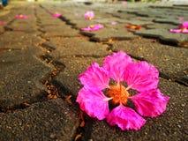 Fiore rosa sul sentiero per pedoni fotografia stock