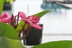 Fiore rosa sulla piscina in costruzione immagini stock
