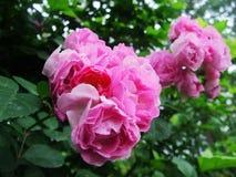 Fiore, rose, rose cinesi Immagine Stock Libera da Diritti