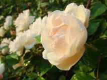 Fiore, rose, rose cinesi Fotografia Stock