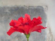 Fiore rosso Fotografia Stock Libera da Diritti