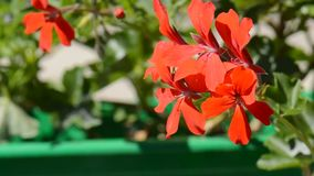 Fiore rosso stock footage