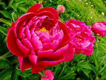 Fiore rosso Immagine Stock