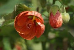 Fiore rosso, abutilon fotografia stock