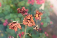 Fiore rosso asciutto della rosa canina nel giardino di autunno Fotografia Stock Libera da Diritti