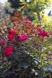 Fiore rosso Bush Fotografia Stock Libera da Diritti