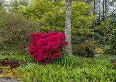 Fiore rosso Bush Immagini Stock