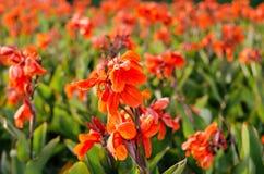 Fiore rosso Canna Fotografie Stock