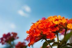 Fiore rosso con cielo blu Immagini Stock Libere da Diritti