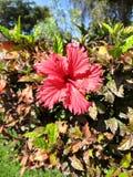 Fiore rosso con cinque petali Fotografia Stock